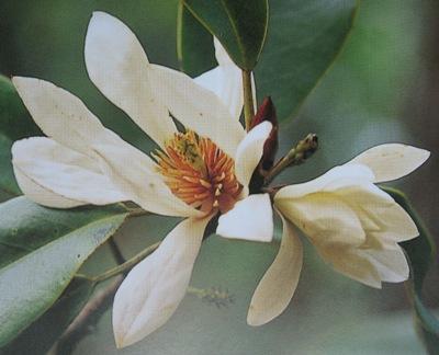 Magnolia floribunda 44