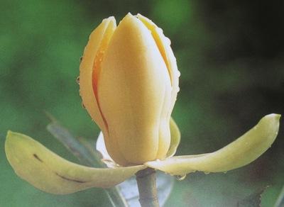Magnolia liliifera = Talauma candollei 20