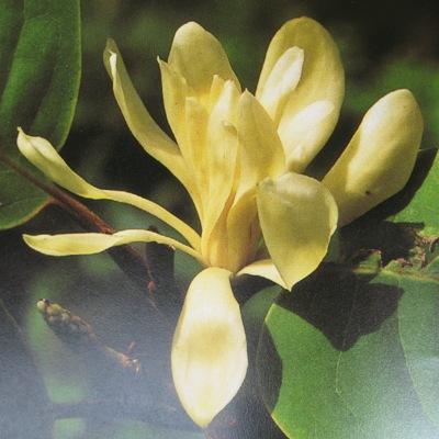 Magnolia rajaniana (grafted) 35
