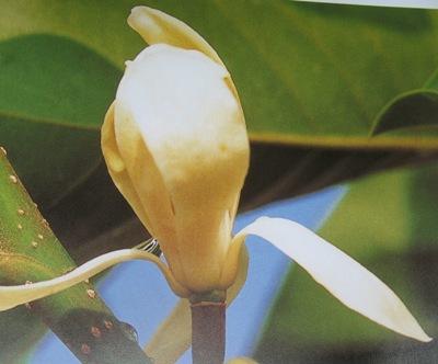 Magnolia sirindhorniae (cutting) (new species) 30