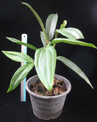 Medinilla magnifica(long leaf) 30