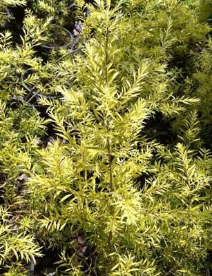 Melaleuca bracteata 'Revolution Gold' 24