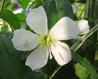 Melastoma malabathricum (white flower) 26