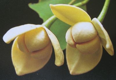 Melodorum fruticosum 20