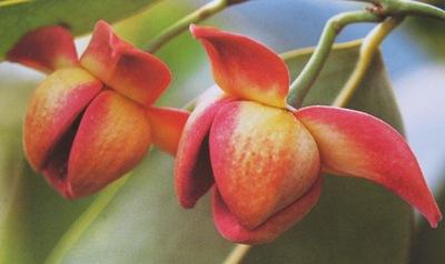 Melodorum fruticosum (red flower) 35