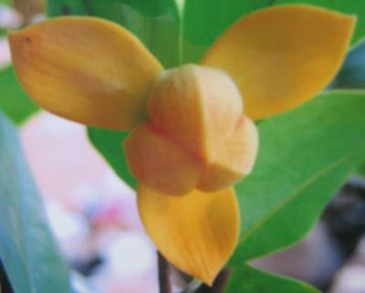 Mitrephora keithii (yellow flower) 35