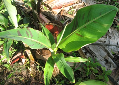 Musa sp.(T01) 26