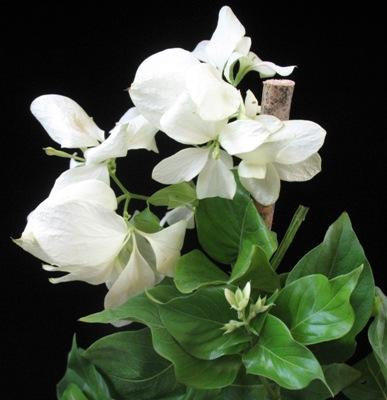 Mussaenda philippica White 30