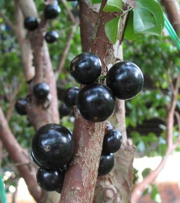 Myrciaria cauliflora (Brazilian Grape tree) 35