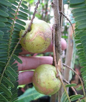 Phyllanthus emblica (India clone) 26