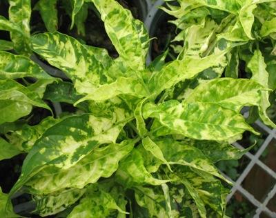 Pseuderanthemum andersonii variegated 24