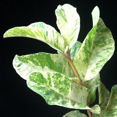 Psidium guajava 'Paen See Thong' variegated 75