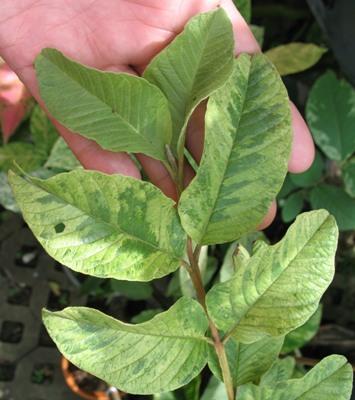 Psidium guajava variegata No.2 70