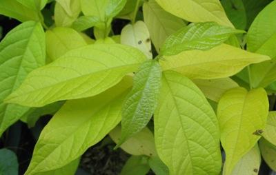 Quisqualis indica (yellow leaf) 26