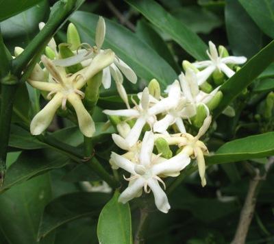 Randia horrida Rubiaceae 26