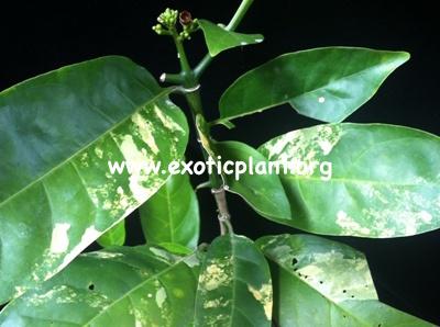 Randia horrida variegated 75