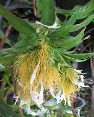 Schaueria sp. Brazil 20