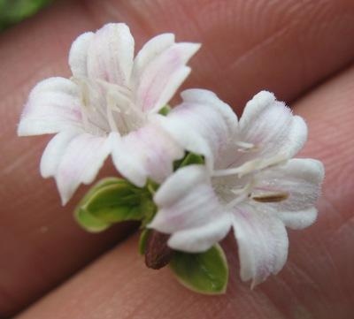 Serissa foetida variegata 16