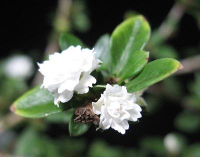 Serissa foetida (white and double flower) 20