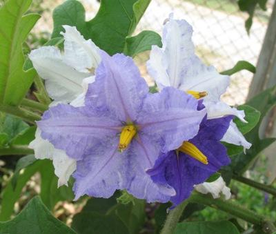 Solanum wrightii 23