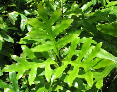 Stenocarpus sinuatus (EP) 44