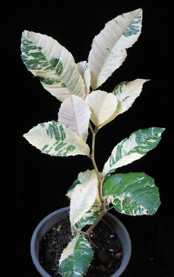 Strebus taxoides (white variegated) 54
