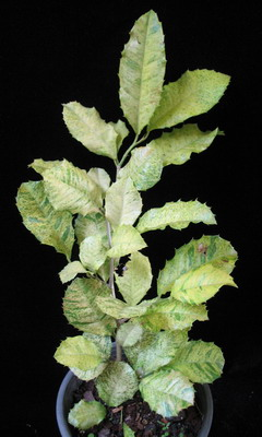 Strebus taxoides (yellow variegated) 54