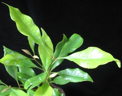 Syzygium aromaticum 30