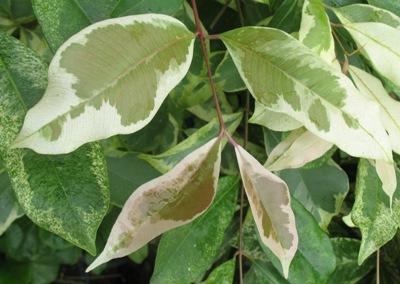 Syzygium cumini albomarginata 45