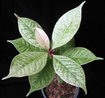 Syzygium malaccense variegated 30