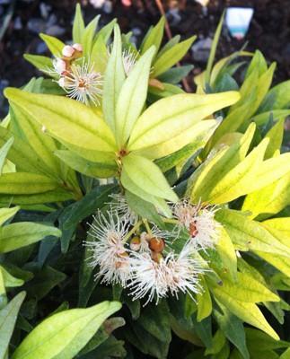 Syzygium paniculatum (golden leaf) 45
