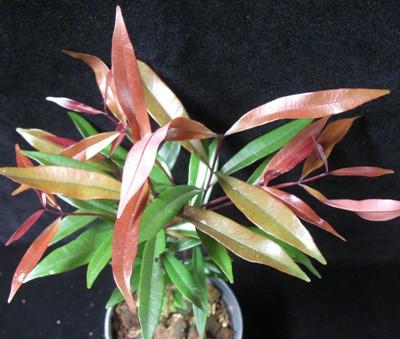 Syzygium paniculatum (long leaf) = Eugenia myrtifolia 20