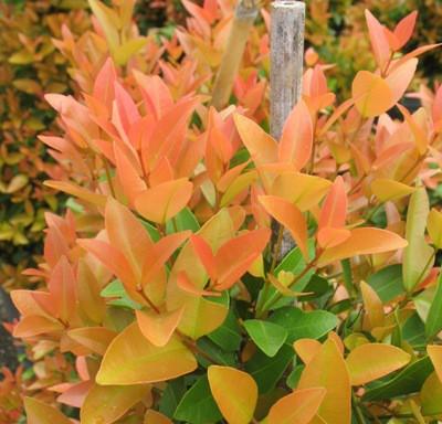 Syzygium paniculatum (orange leaf) (TF) 20