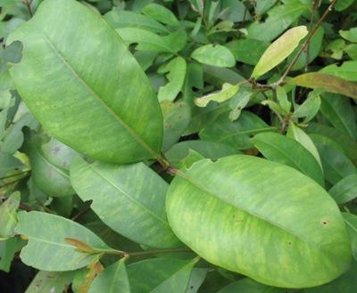 Syzygium refertum 23