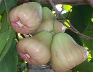 Syzygium samarangense 'Petchburi' 35