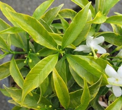 Tabernaemontana (T01) Dwarf variegata 20