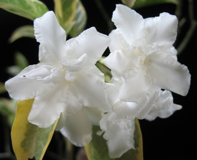 Tabernaemontana divaricata 'Cream margin leaf' 30