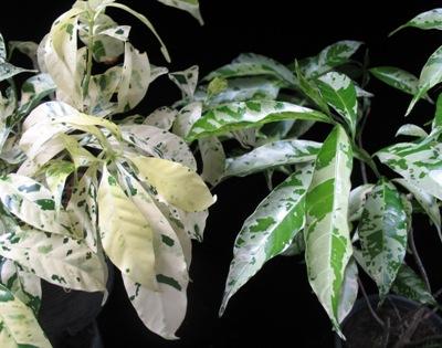 Tabernaemontana divaricata 'Green Spot'(слева)   'Splash(справа)