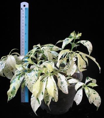 Tabernaemontana divaricata 'Green Spot' 23