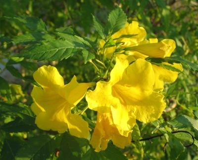 Tecoma stans Bignoniaceae 20
