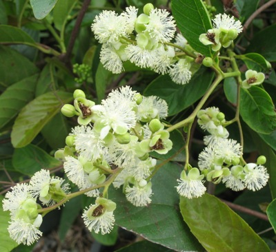 Tetracera loureiri Dilleniaceae (TF) 32