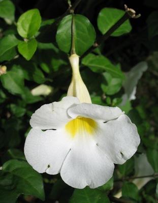Thunbergia erecta (white) South Africa 14