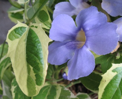 Thunbergia laurifolia variegated 30