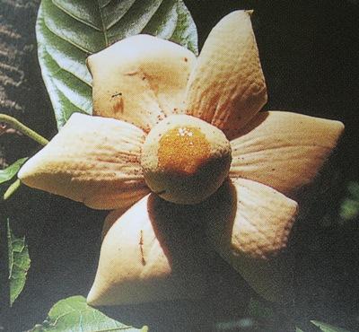 Uvaria grandiflora var. flava 35