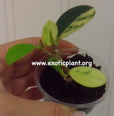 ficus cv Green Island variegated (укорененный черенок) 44