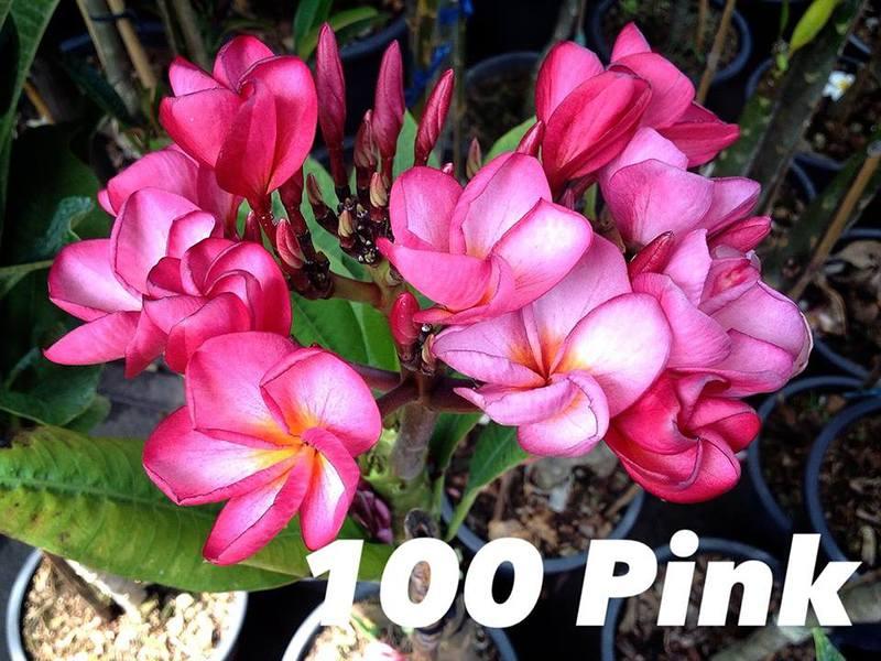 plumeria 100 pink 20