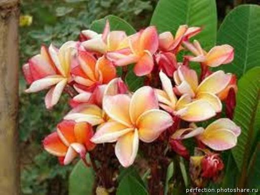 Plumeria Kanlasin Orange 20