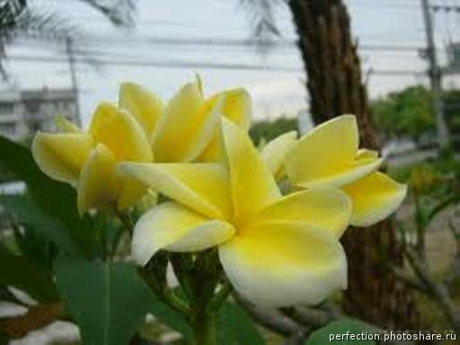 Plumeria Lemon Drop 24