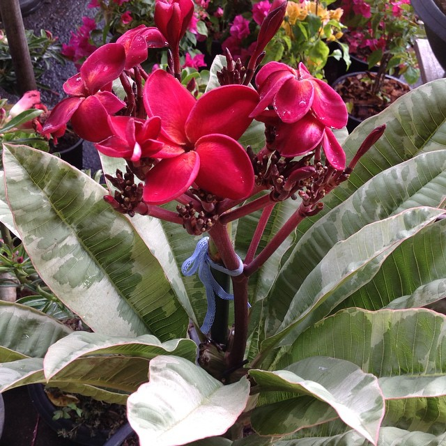 plumeria Siam Red Variegated 45