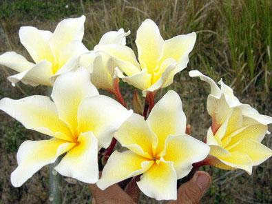 Plumeria Vichanu Gold 30